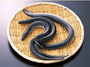 台湾産鰻(うなぎ)