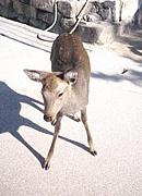 宮島の鹿を助けたい