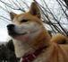 寿々木犬舎出身の柴犬