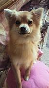 チワポメLOVE(MIX犬)