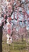 しだれ梅を愛する会