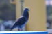 鳩の鳴き声はドゥッドゥホウ