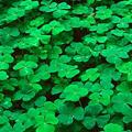 clover community