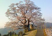 岡山☆醍醐桜