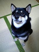 黒柴&柴好き!!