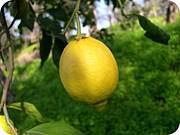レモン栽培
