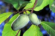 熱帯果樹ポポー(ポーポー)