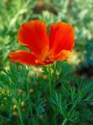 【material of flower】 SOPHIA