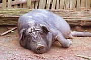 UCGO豚の会