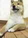 柴犬 in 九州