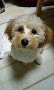 マルプー、Mix犬