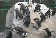 ライブカメラでペンギンを見る会