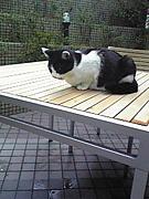 創価大学の猫:ウシちゃん
