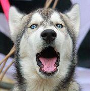 青い目の犬が好き