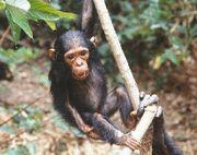 マハレのチンパンジー