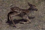 産まれたての仔鹿