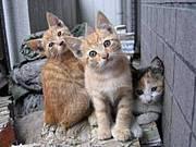 ☆捨夢猫☆-シャムネコ-