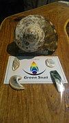 石垣島 Green Snail