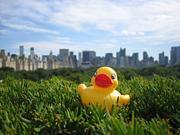 Bu-Bu-Ducks