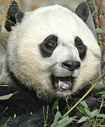 パンダの目に引く。