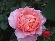 バラ・薔薇・ばら