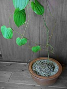 succulent サキュレント