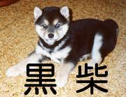 黒柴犬LOVE!!