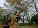 シェパード犬