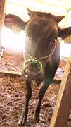黒毛和牛(九州地方)の触れ合い
