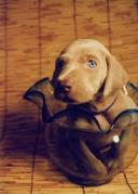ワイマラナー犬