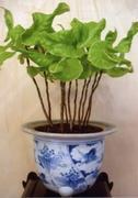 古典園芸植物