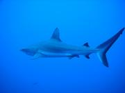 サメ 海 ハンマー