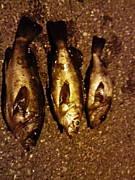 鳥取県 釣り情報 せれる