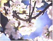 Cherry Blossom * by L'OCCITANE