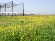 菜の花エコプロジェクト