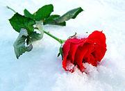 †Roses Kingdom†