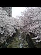 桜を見ると鬱になる