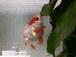金魚の稚魚