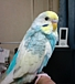 Happy budgies[������������]