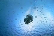 クラゲ 水族館