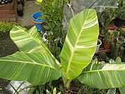 斑入り植物写真投稿