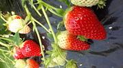 ワイワイ温泉と果物狩りと観光