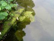 池の藻が気になる