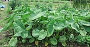 神奈川で家庭菜園 貸農園