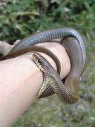 野生のヘビ