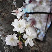 桜 〜sakura〜
