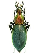 オサムシ Carabidae