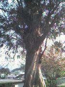 九和小学校ゆうかりの木