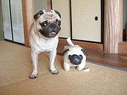 パグのコミュ in 熊本