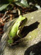 庭で蛙を飼ってるのだ。